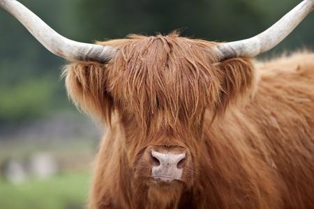 vee: Schotse Hooglanders. Stockfoto