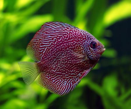 Snakeskin Discus Fish photo