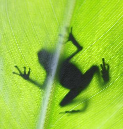 backlit: Posion retroiluminado rana sobre una hoja tropical.