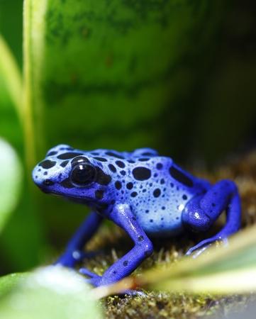 poison frog: Veleno blu Dart Frog Archivio Fotografico