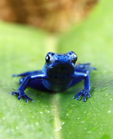 rana venenosa: Rana Veneno azul