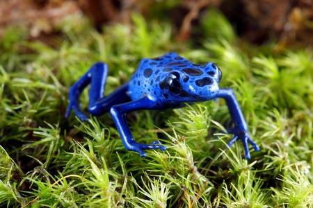 Blaue Pfeilgiftfrosch Standard-Bild - 10049883