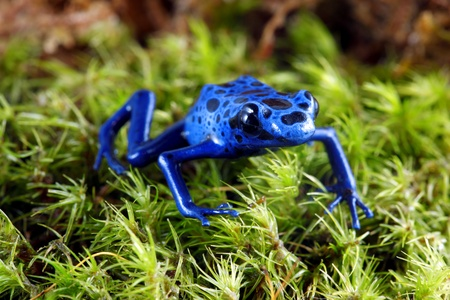 poison dart frogs: Blue Poison Dart Frog