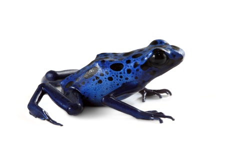 blue spotted: Blue Poison Dart Frog on white. Stock Photo