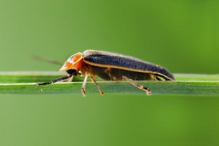 firefly: Firefly on blade of grass