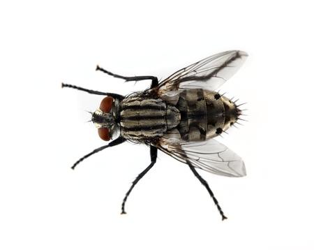 mouche: mouche domestique sur fond blanc Banque d'images