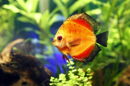 Fire Red Discus Fish Stock Photo