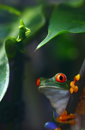 Red-Eyed Tree Frog photo