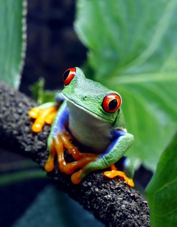 grenouille: Rainette aux yeux rouges