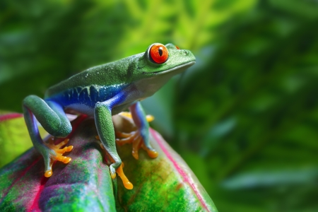 Red-Eyed Tree Frog Stock Photo - 10049850