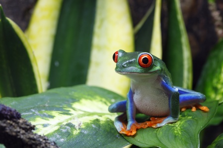 Smiling Red-Eyed Tree Frog 스톡 콘텐츠