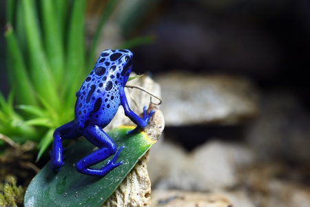 rana venenosa: Dart de veneno azul