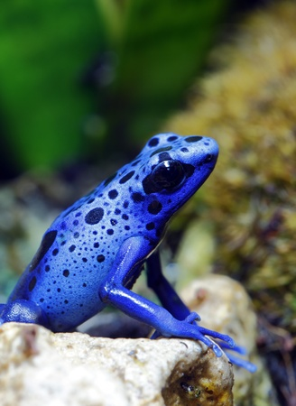 poison dart frogs: Blue Poison Dart