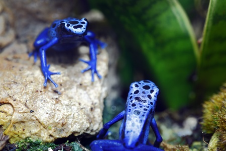 Two Blue Poison Dart Frogs Stock Photo - 10049741