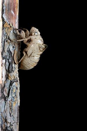 molting: Cicada shell on a tree at night.
