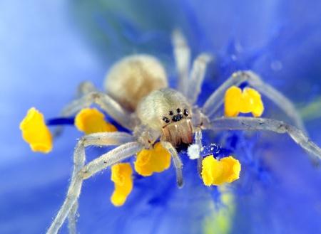 sac: Yellow Sac Spider Stock Photo