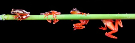 Clown tree frogs Stock Photo - 10049723