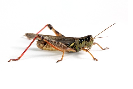 Grasshopper on a solid white background.