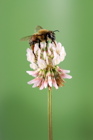 Honey Bee on a clover photo