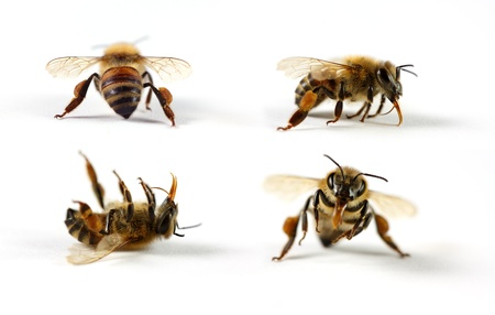 macro image: Honey bees on white