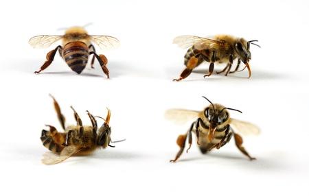Honey bees on white