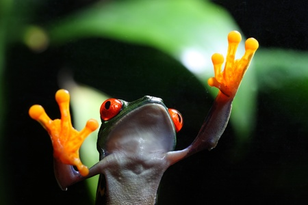 tree frog: A Red-Eyed Tree Frog (Agalychnis callidryas) walking on glass with a tropical environment in the background.