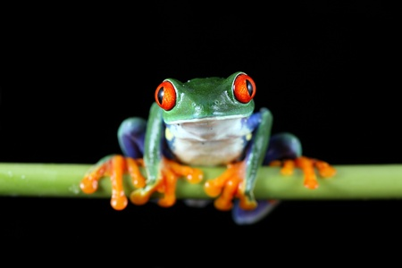 eyeing: Red-Eyed Tree Frog