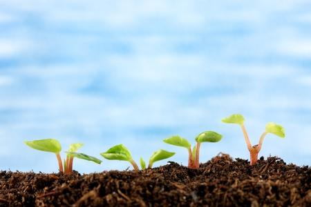 germinación: Cuatro pequeñas plantas de semillero brotar del suelo