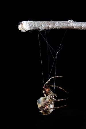 weaver: Orb weaver spider spinning web.