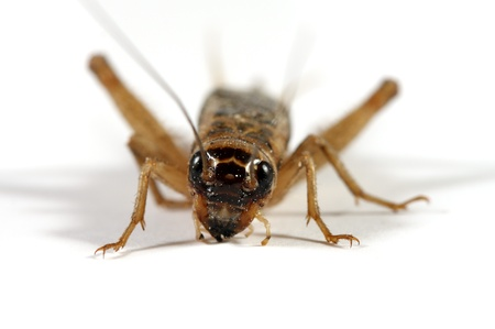 cricket insect: Cricket on white Stock Photo
