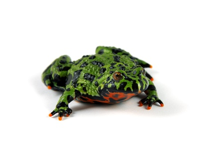 Fire Bellied Toad Imagens
