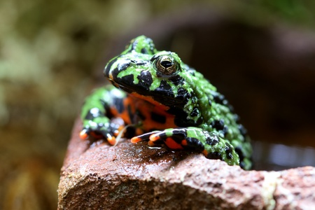 bellied: Fire-Bellied Toad Stock Photo