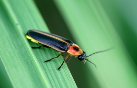 Firefly Standard-Bild - 10049224