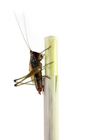 locust: grasshopper Stock Photo