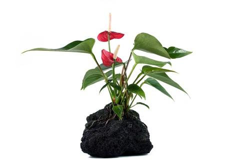 anthurium: Hawaiian lava rock plant