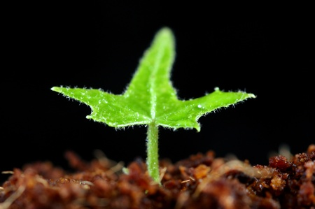 sprouting: Seedling sprouts