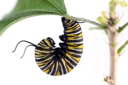 oruga: Oruga de la mariposa monarca Foto de archivo