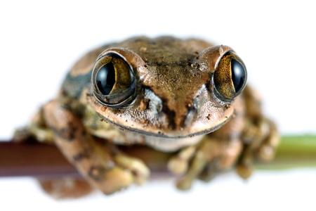 Peacock Frog photo