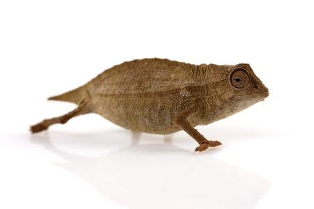 Pygmy leaf chameleon Stock Photo