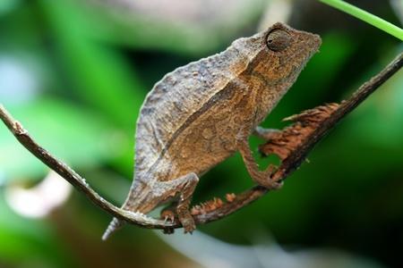pygmy: Pygmy leaf chameleon Stock Photo