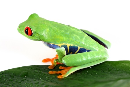 tree frog: Red-Eyed Tree Frog