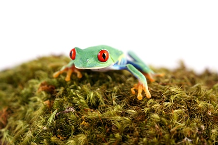 redeyed tree frog: Red-Eyed Tree Frog