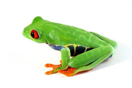 red eyed leaf frog: Red-Eyed Tree Frog