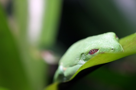 redeyed tree frog: Red-Eyed Tree Frog sleeping. Stock Photo
