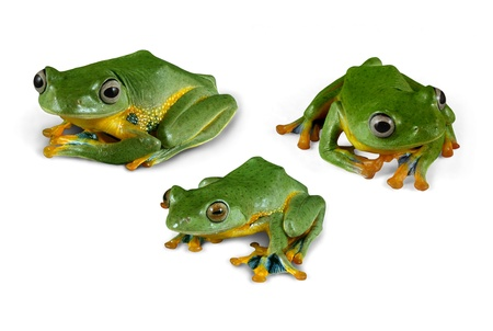 macro animals: Wallace Flying Tree Frogs