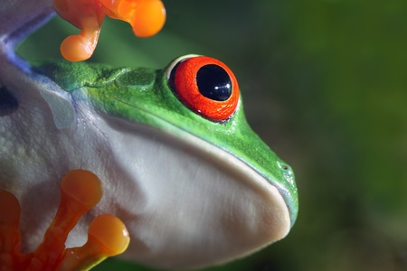 red eyed tree frog: Red-Eyed Tree Frog