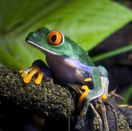 tropical rainforest: Red Eyed Tree Frog Stock Photo