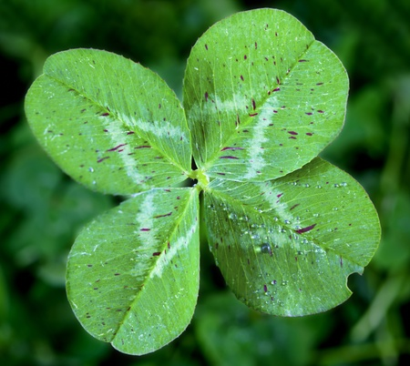 Four Leaf Clover Stockfoto - 10383866