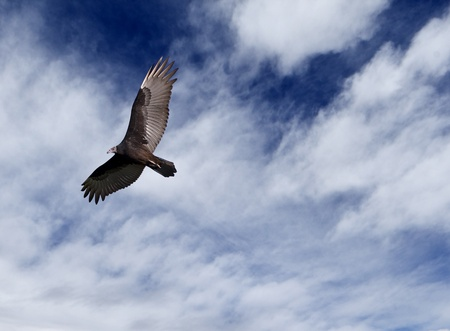 A large vulture in flight against a blue sky and clouds.