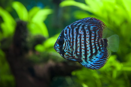 tank fish: A colorful close up shot of a Discus Fish Stock Photo